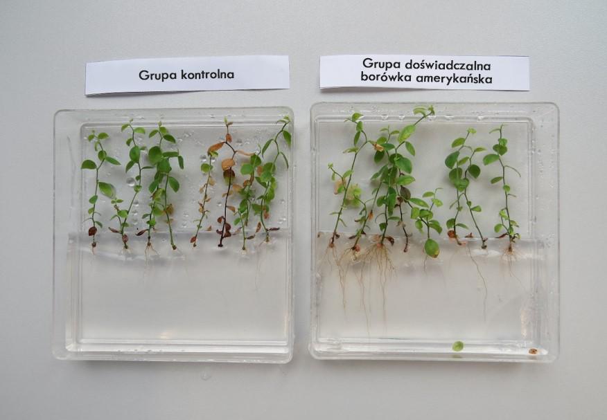 Zdjęcie przedstawia grupę kontrolną oraz grupę doświadczalną borówki amerykańskiej: sadzonki w grupie kontrolnej są dużo mocniej ukorzenione, mają dłuższe korzenie od sadzonek z grupy kontrolnej.