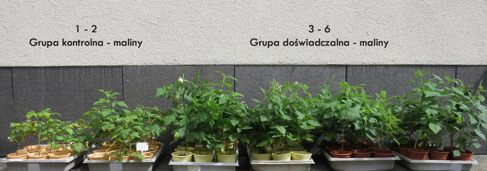 Porównanie grupy sadzonek malin. Sadzonki z grupy doświadczalnej są znacząco większe i bujniejsze w porównaniu do grupy kontrolnej.=